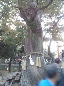 太鼓橋近くの巨木
